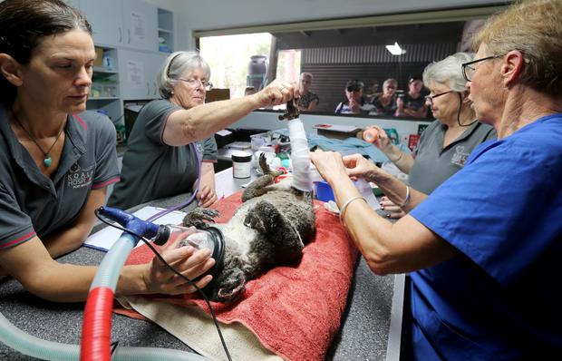 Koala Hospital Works To Save Injured Animals Following Bushfires Across Eastern Australia