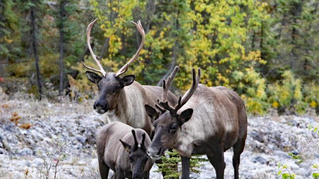 a-caribou-family-in-alaska-sherri-obrien-promo.jpg