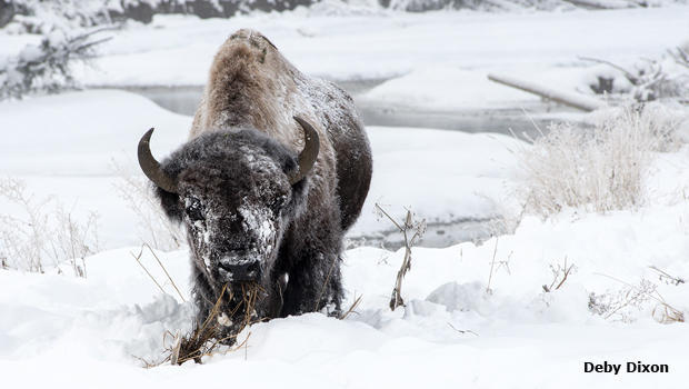 bull-bison-in-snow-deby-dixon-620.jpg