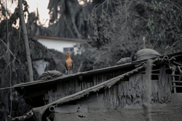 A bird sits atop a roof covered with ashes from the erupting Taal Volcano evacuates in Talisay