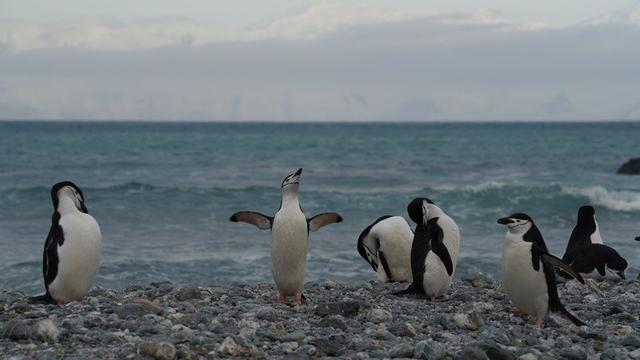 chinstrap-penguin.jpg