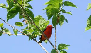 Songbirds in Texas