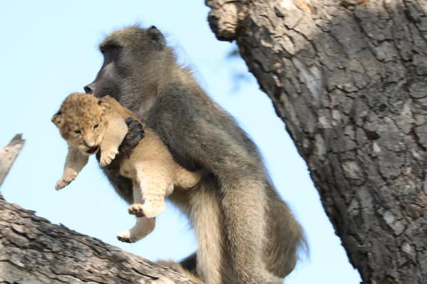 "Baboon seen carrying little lion cub in South Africa: ""Nature is cruel"""
