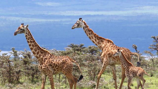 maasai-giraffe-family-marcy-starnes.jpg