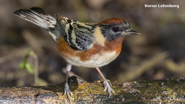 bay-breasted-warbler-verne-lehmberg-620.jpg