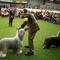 Dogs are seen during breed judging at the 144th Annual Westminster Kennel Club Dog Show in New York