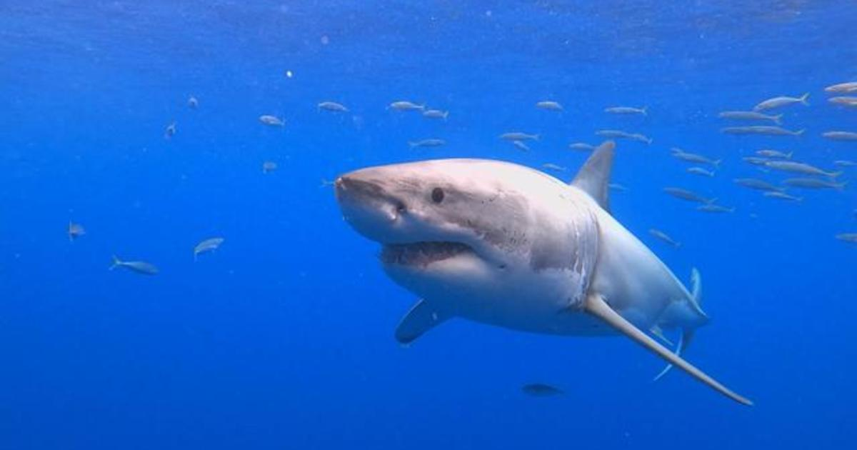 Great white sharks are making a great big comeback in Mexico