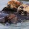 sea-otters-taking-a-rest-marcy-starnes-promo.jpg