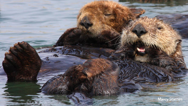 sea-otters-taking-a-rest-marcy-starnes-620.jpg