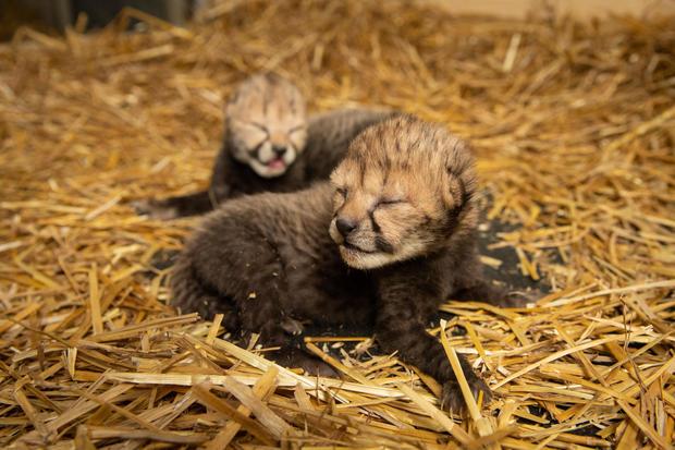 cheetah-cubs-2019-2-grahm-s-jones-columbus-zoo-and-aquarium.jpg