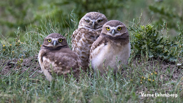burrowing-owl-with-two-chicks-verne-lehmberg-620.jpg