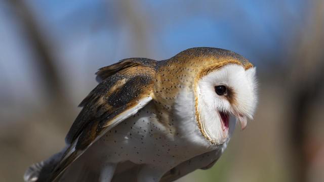 barn-owl-calling-verne-lehmberg-promo.jpg