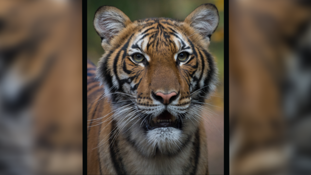 malayan-tiger-bronx-zoo.png