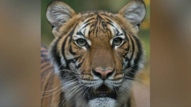 Tiger Tests Positive For Covid 19 At New York City Zoo First Case Of Its Kind In U S Cbs News