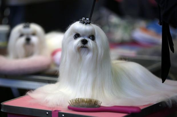 30. Maltese - The most popular dog breeds in America - Pictures - CBS News