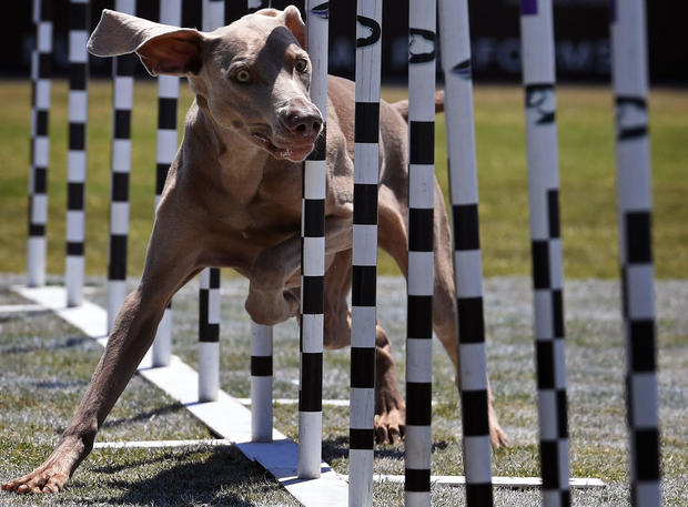 36. Cane corso - The most popular dog breeds in America - Pictures - CBS  News