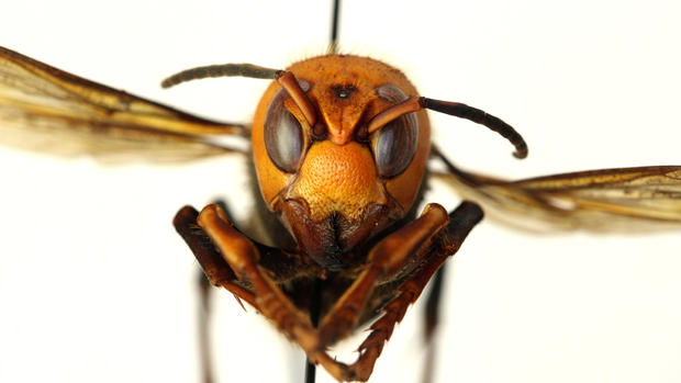 """""""Murder hornet"""" spotted in the United States"""