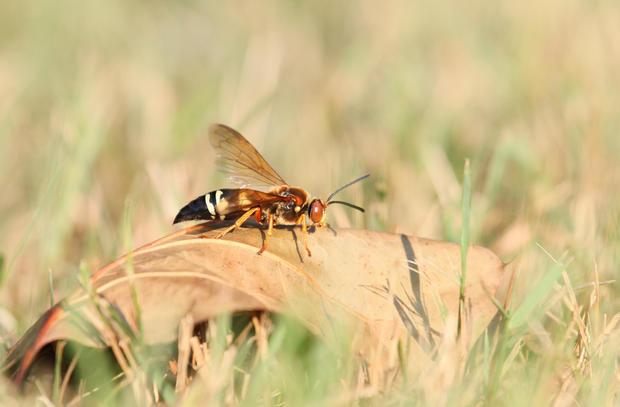 cicada killer on leaf