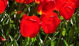 tulipsextendedsmnature1920-482451-640x360.jpg