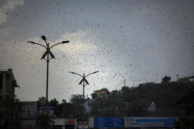 Climate Change-Driven Locust Swarms Arrive in India