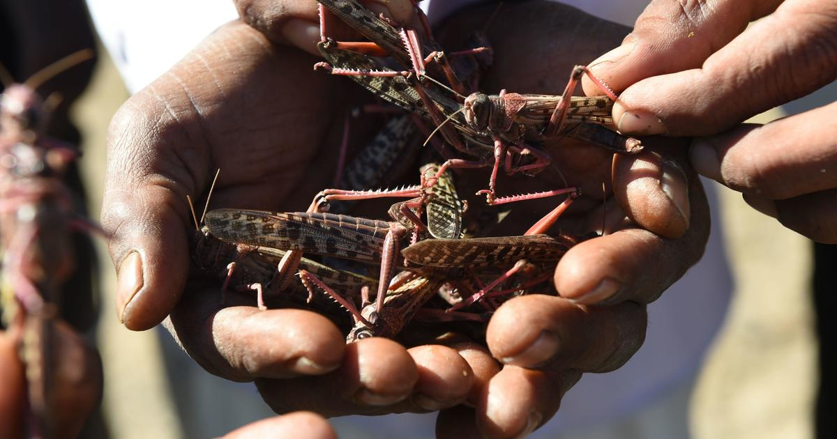 Coronavirus-battered India is now battling a plague of locusts