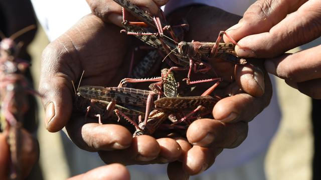 INDIA-AGRICULTURE-ENVIRONMENT-LOCUSTS