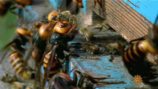 asian-giant-hornets-attack-bee-hive-620.jpg