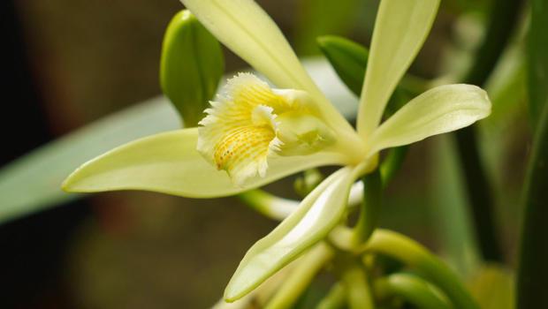 vanilla-orchid-620.jpg
