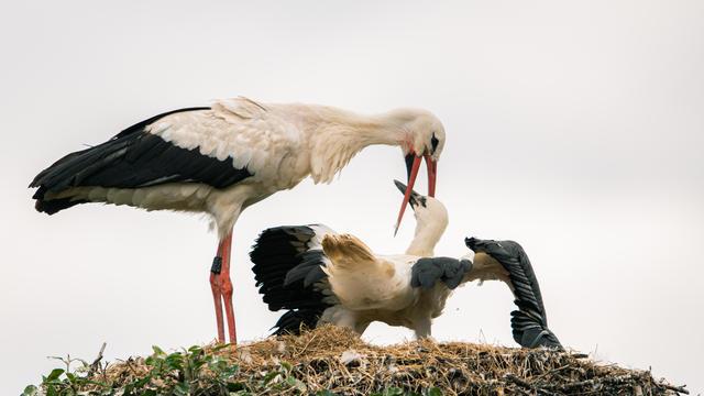 A home for hundreds of storks