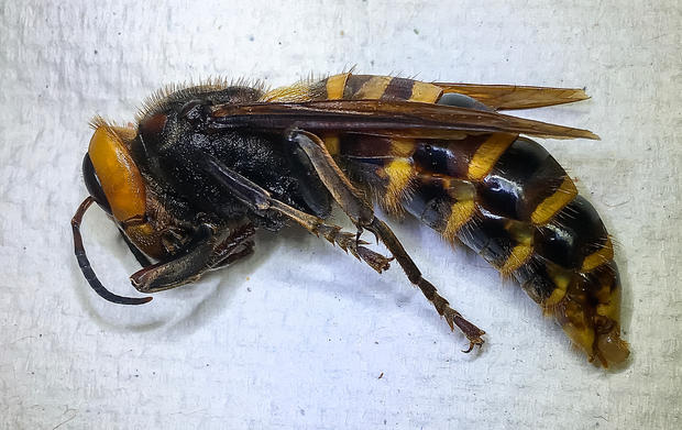 """Murder hornets"" in America: What you need to know"
