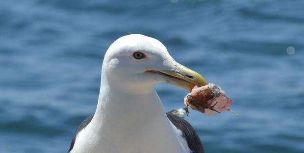 Red Eye seagull