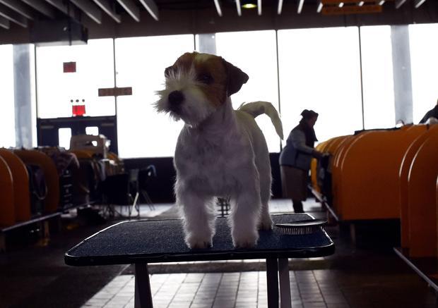 US-WESTMINSTER DOG SHOW