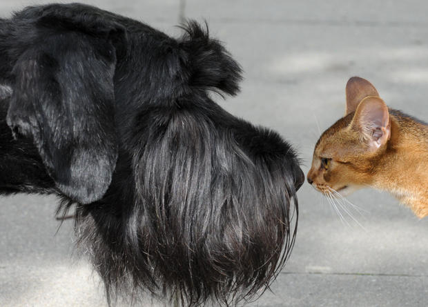 A Giant Schnauzer and a cat check each o