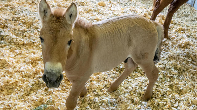 Kurt, a tiny horse who is actually a clone, is seen in this September 1, 2020, photo provided by San Diego Zoo Global.