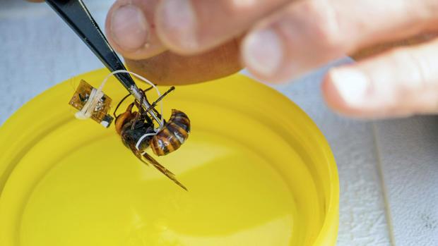 Asian Giant Hornets