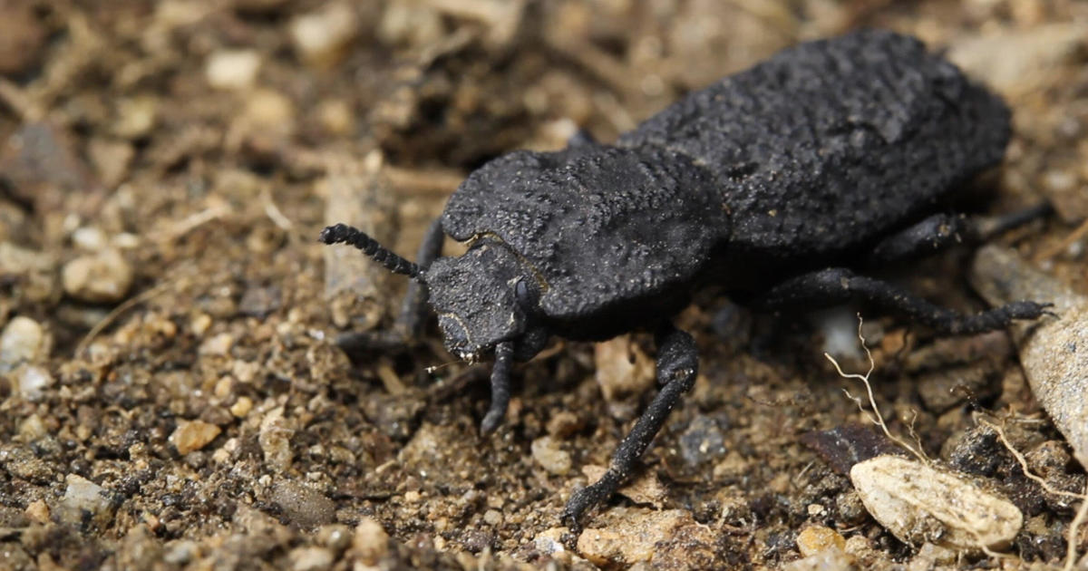 Meet the diabolical ironclad beetle, which can survive being run over by a car
