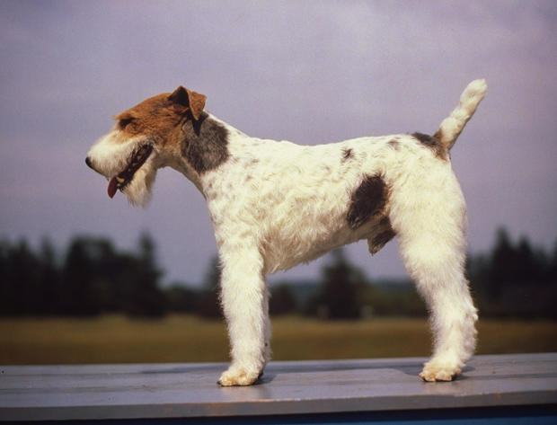 Side view of wire-haired Fox Terrier at