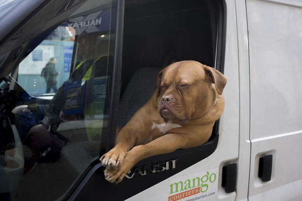 UK - London - Pet dog rides in white courier van