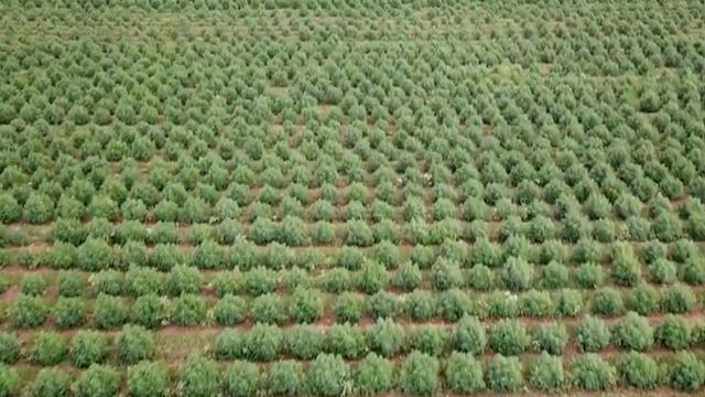 cbsn-fusion-can-farming-hemp-help-fight-climate-change-thumbnail-588112-640x360.jpg