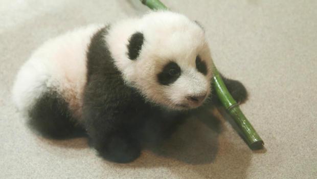 panda-cub-b-620.jpg