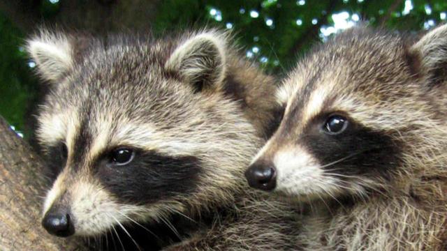 raccoons-b-1280.jpg