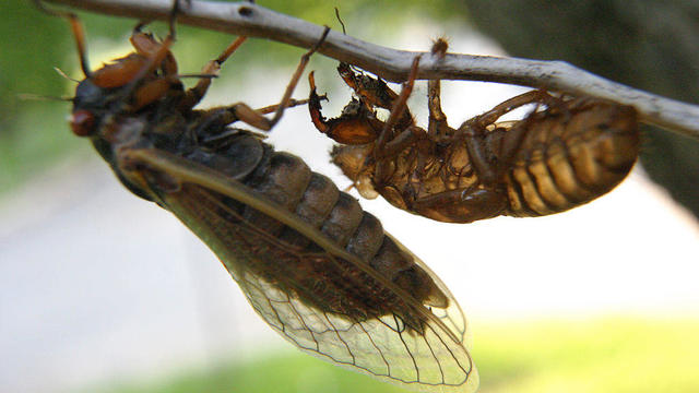 Brood X cicadas, seen in 2004.