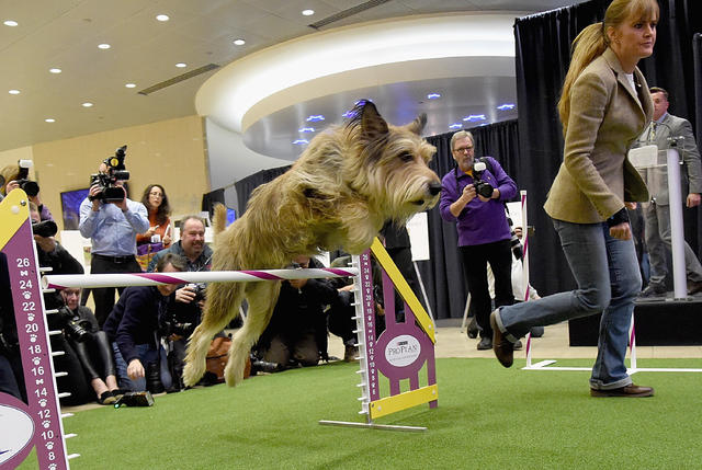 Newest dog breeds: From tiny toys to massive mastiffs