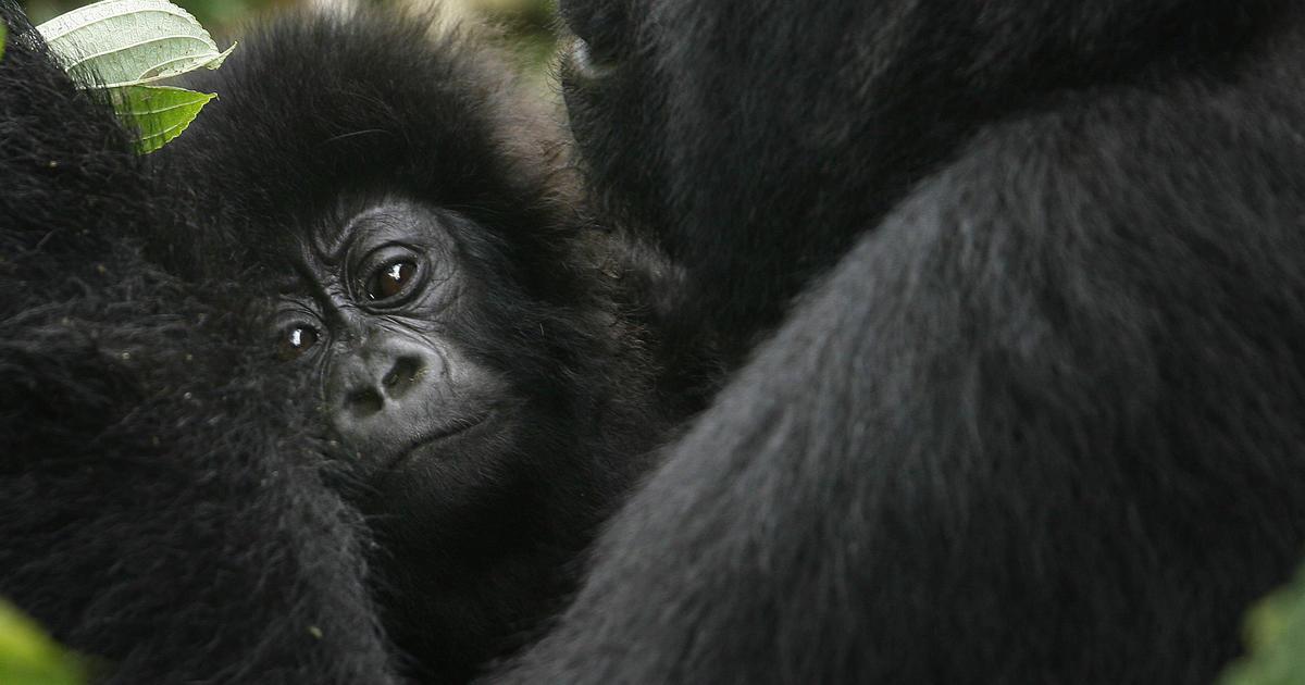 "6 rangers killed in ""devastating"" attack on Congo gorilla sanctuary – CBS News"