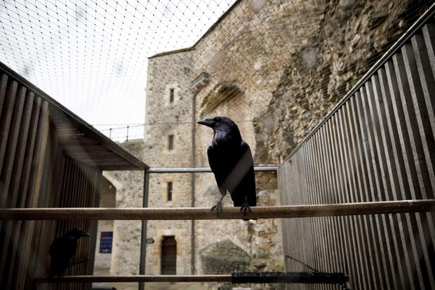 """Nevermore? Tower of London's """"queen"""" raven goes missing and is feared dead"""