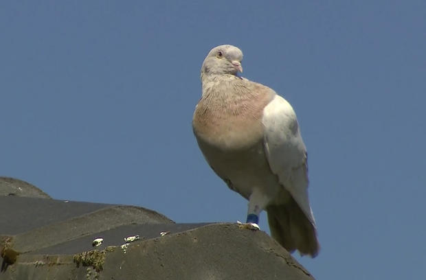 Australia Trans-Pacific Pigeon