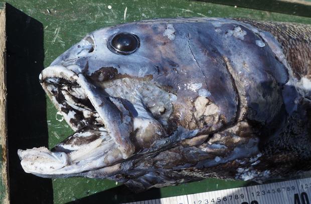 yokozuna-slickhead-fish-japan.jpg