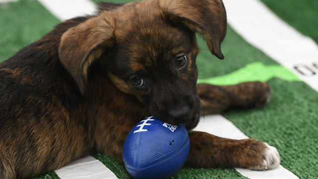 210207171601-puppy-bowl-2021-exlarge-169.jpg