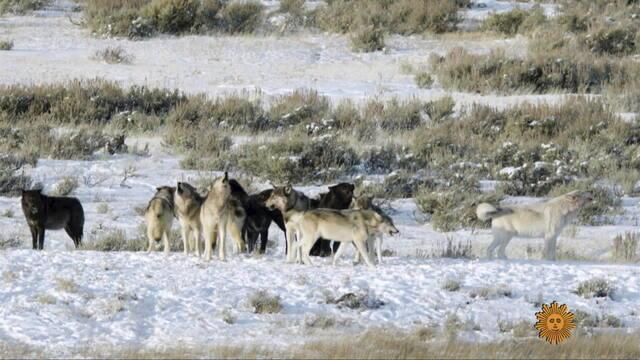 sm-xx-wolves-022121-650696-640x360.jpg