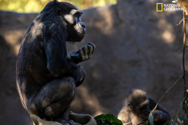 mm9509-animal-vaccines-gorilla-solo-2.jpg